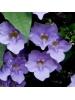 Bengal Clockvine (Thunbergia Grandiflora)