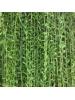 Curtain Creeper (Vernonia Elaeagnifolia)