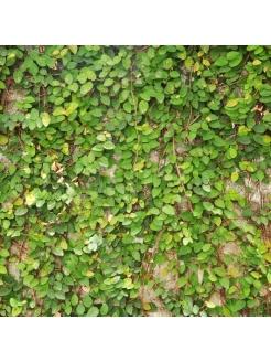 Green Ivy (Hedera Spp)