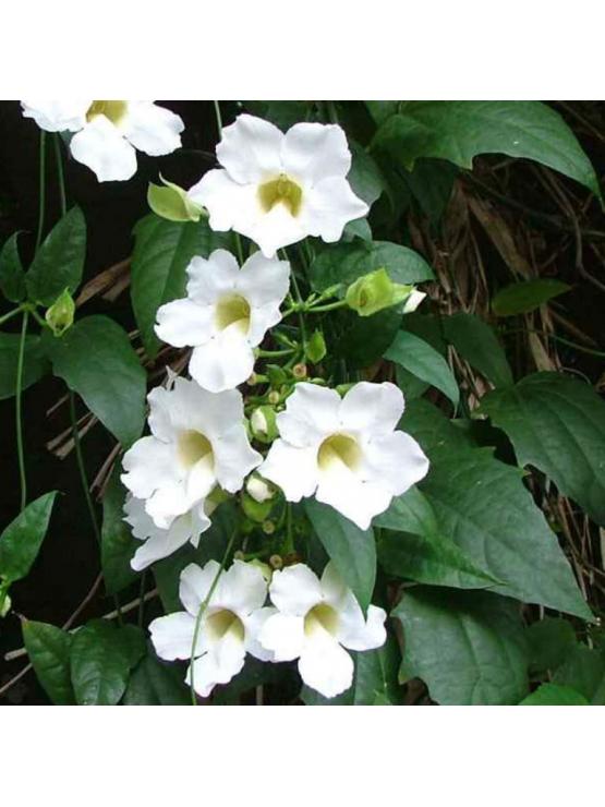 Thunbergia (Thunbergia Grandiflora Alba)