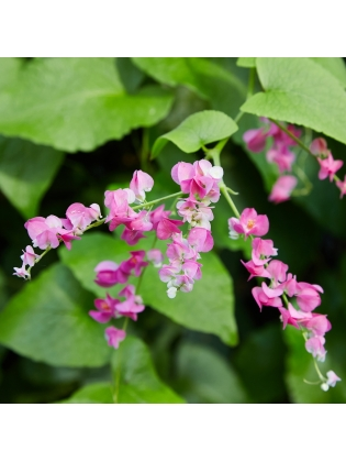 Mexican Creeper (Antigonon Leptopus)