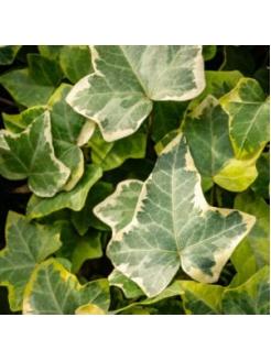 Variegated Ivy (Scientific - Hedera Helix)