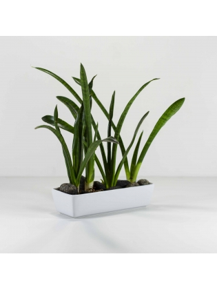 African Spears Snake Plant ( Sansevieria Cylindrica ) With Rectangular Shaped Ceramic Pot