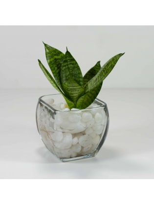 Snake Plant - Green (Sansevieria Zeylanica) With Square Shaped Glass Bowl Pot