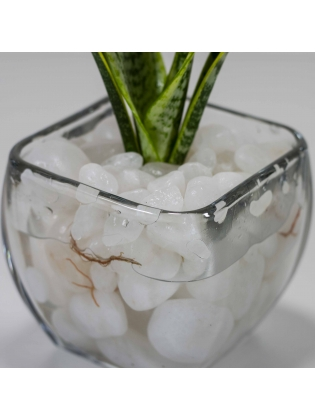 Snake Plant - Golden  (Sansevieria Zeylanica) With Square Shaped Glass Bowl Pot
