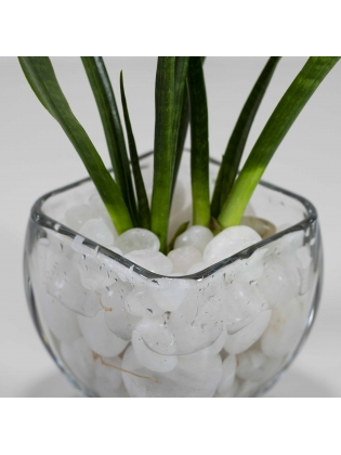 African Spears (Sansevieria Cylindrica) With Square Shaped Glass Bowl Pot