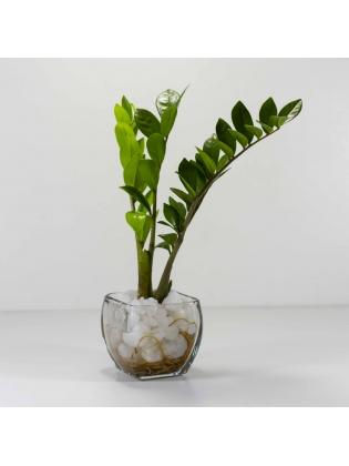 Lucky Plant (Zamioculcas Zamiifolia) With Square Shaped Glass Bowl Pot