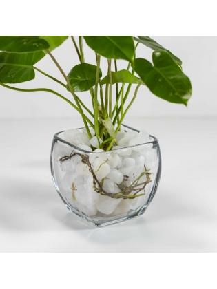 Arrowhead Plant (Syngonium Podophyllum) with Square Shaped Glass Bowl Pot