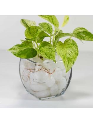 Pothos Ivy (Epipremnum Aureum) With Square Shaped Glass Bowl Pot