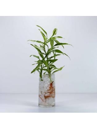 Lucky Bamboo (Dracaena Sanderiana) With Cylindrical Shaped Glass Pot