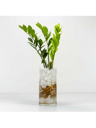 Lucky Plant (Zamioculcas Zamiifolia)  With Cylindrical Shaped Glass Bowl Pot
