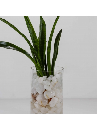 African Spears (Sansevieria Cylindrica) with Cylindrical Shaped Glass Pot