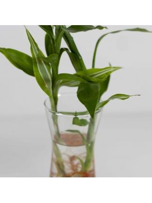 Lucky Bamboo (Dracaena Sanderiana) with Conical Shaped Glass Pot