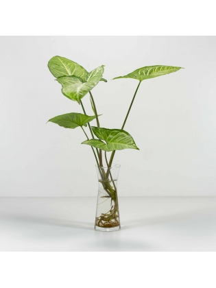 Arrowhead Plant (Syngonium Podophyllum) with Conical Shaped Glass Pot