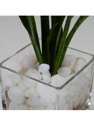 African Spears (Sansevieria Cylindrica) with Square Shaped Glass Pot