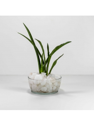 African Spears Snake Plant (Sansevieria Cylindrica) With Circular Glass Bowl Pot