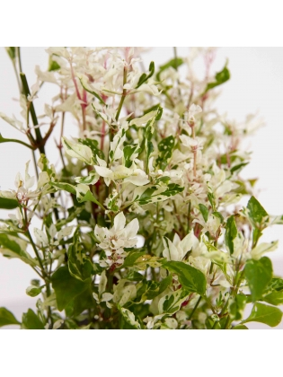 Duncan White (Deutzia Gracilis)