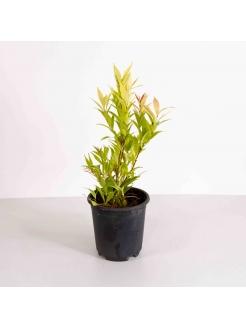 Christina Gold (Syzygium Campanulatum)