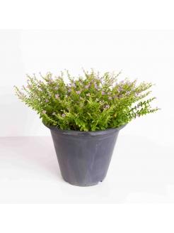 Cuphea Hyssopifolia (Kufiya)