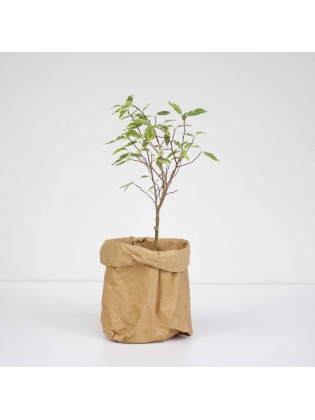 Ficus Starlight (Ficus Benjamina)