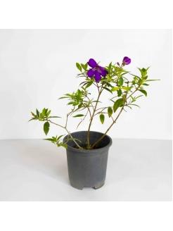 Bovitiya Hybrid (Osbeckia Octandra)
