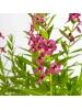 Lavender - Pink ( Cuphea Glutinosa )