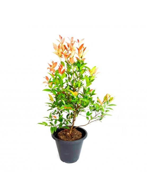Christina (Syzygium Campanulatum)