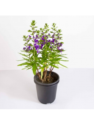 Lavender - Purple (Lavandula Angustifolia)