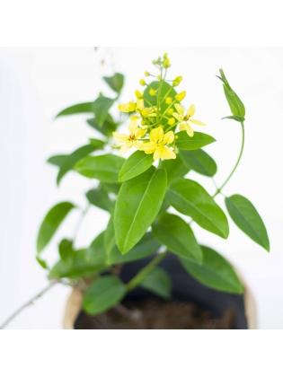 Gold Vine (Tristellateia australasiae)
