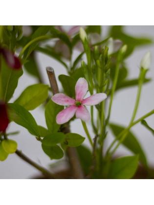 Rangoon creeper (Combretum indicum)