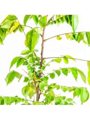 Star Fruit (Averrhoa Carambola)