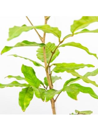 Rambutan (Nephelium Lappaceum)
