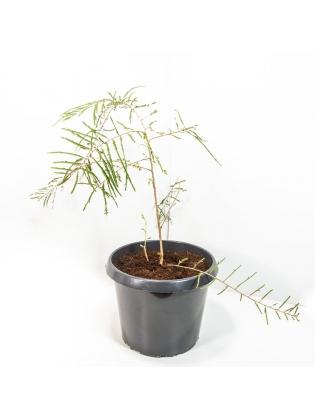 Nelli (Phyllanthus Emblica)