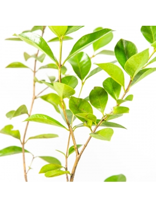 Strawberry Guava - China Pera (Psidium Cattleyanum)
