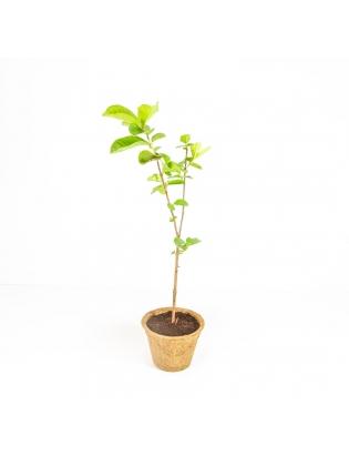 Guyana Guava  (Psidium Guineense)