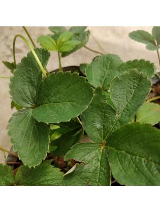 Strawberry (Fragaria × ananassa)