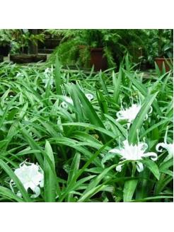 Rain Flower (Pancratium Zeylanicum)