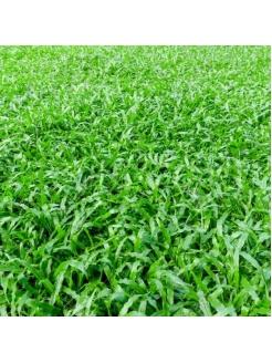 Malaysian Grass (Zoysia Matrella)