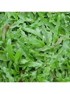 Buffalo Grass (Axonopus Compressus)