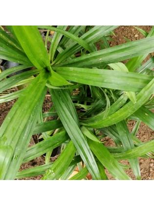 Rampe (Pandanus amaryllifolius)