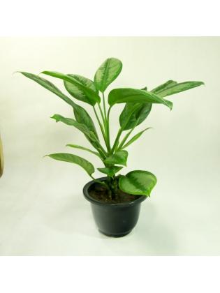 Silver Bay Chinese Evergreen ( Aglaonema )