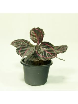 Dottie Plant (Calathea Roseopicta)