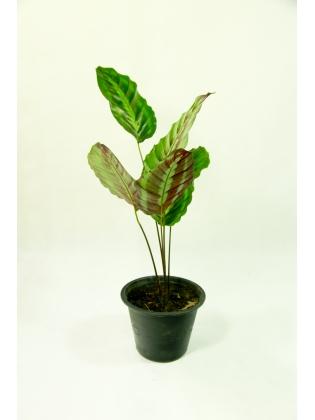 Prayer Plant (Calathea Warscewiczii )