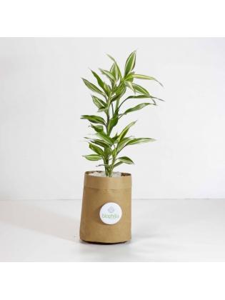 Lucky Bamboo Varigated (Dracaena Sanderiana)