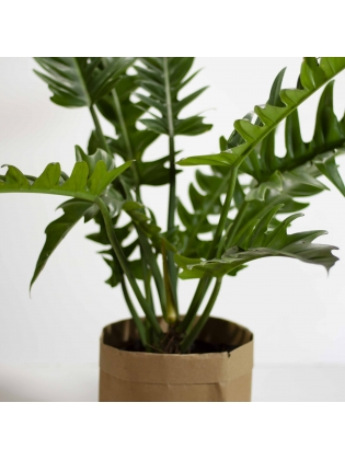Philodendron  Dathi (Philodendron Xanadu)