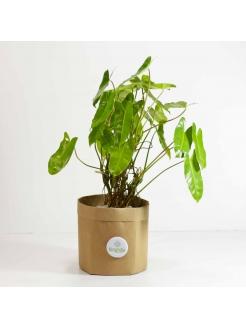 Arrowhead Plant (Syngonium podophyllum)
