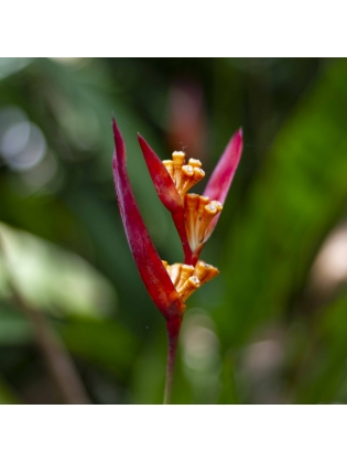 Fire Flash (Heliconia Densiflora)