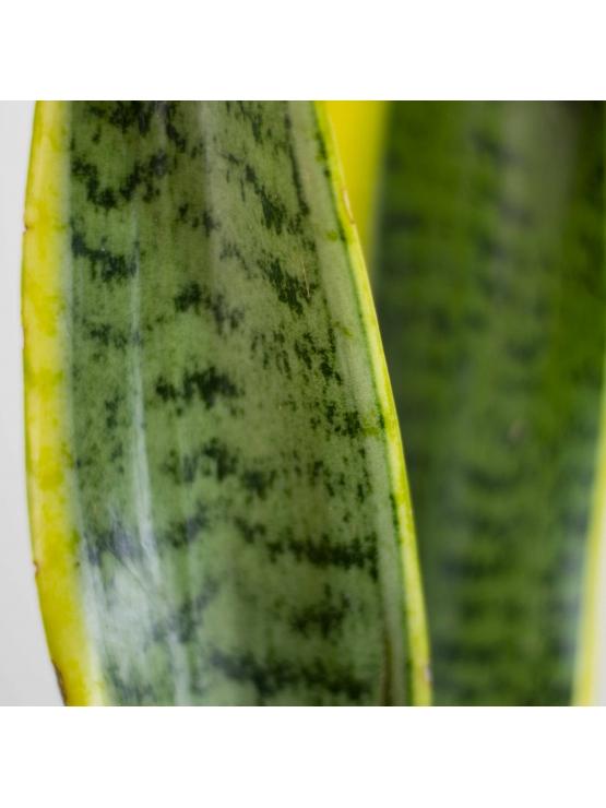 Snake Plant Maruva (Sansevieria zeylanica)