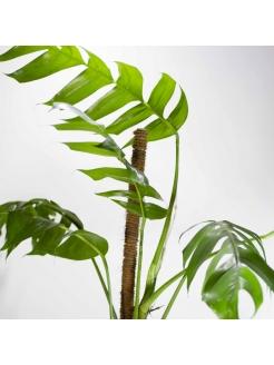 Philodendron (Monstera Deliciosa)