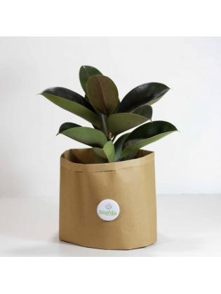 Rubber Plant (Ficus Elastica Robusta)